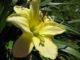 Лилейник не цветет