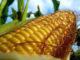 Садим кукурузу