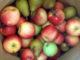 Какие сорта груш и яблонь выбрать?
